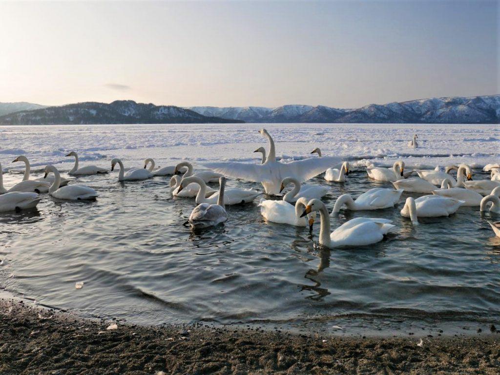 北海道屈斜路湖白鳥群