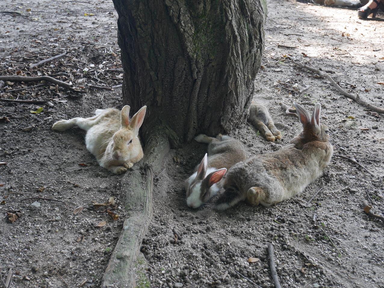 廣島景點兔子島