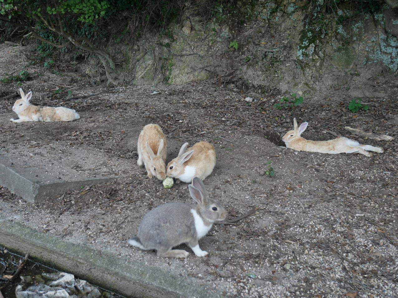 大久野島兔子群