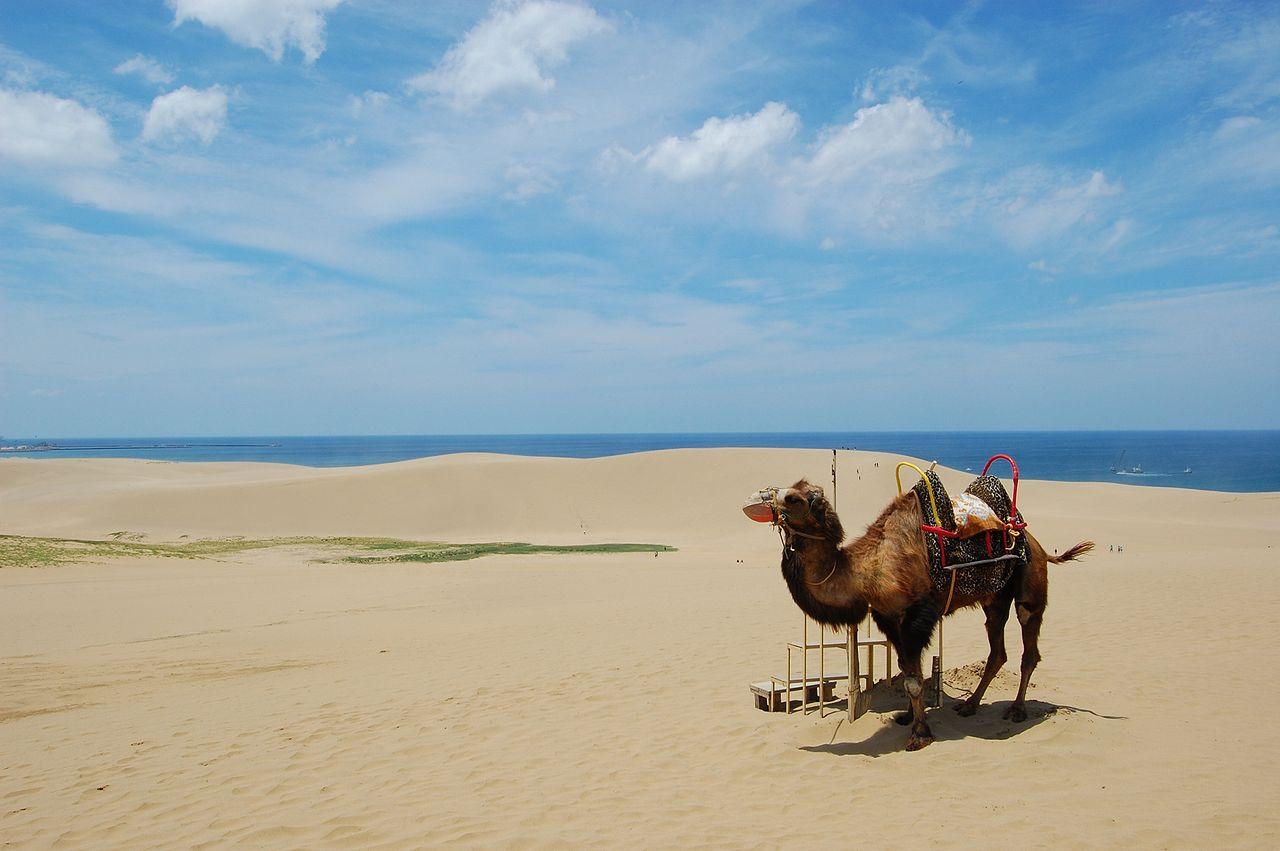 鳥取砂丘駱駝