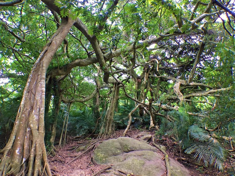 鸞山森林博物館-會走路的樹