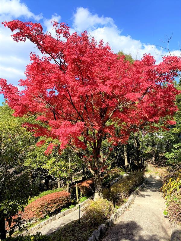 九州國立博物館旁楓葉