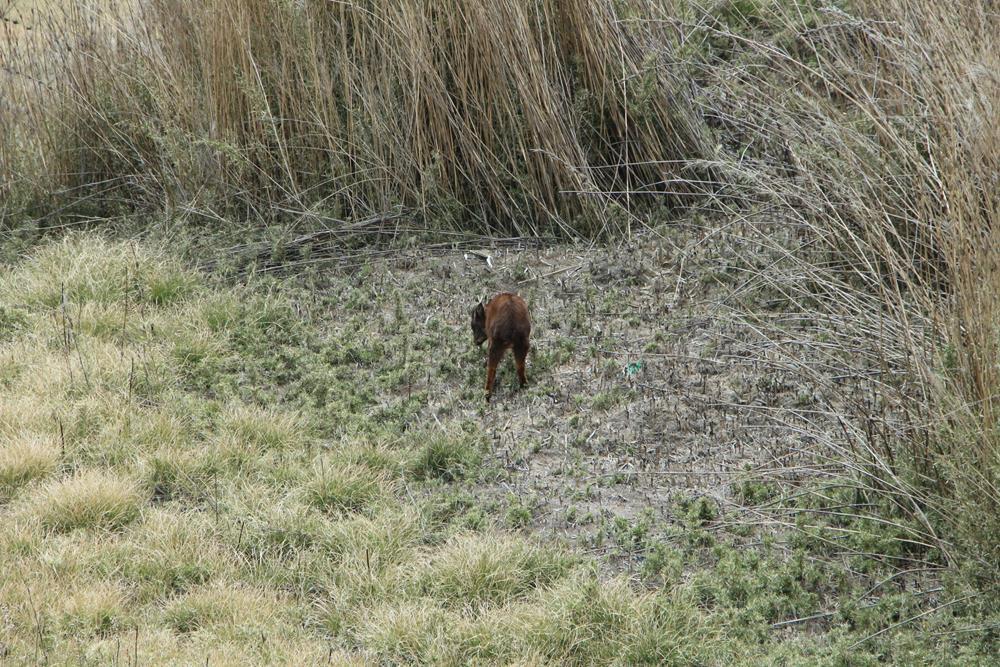 在回山莊的路上水鹿竟然出現了