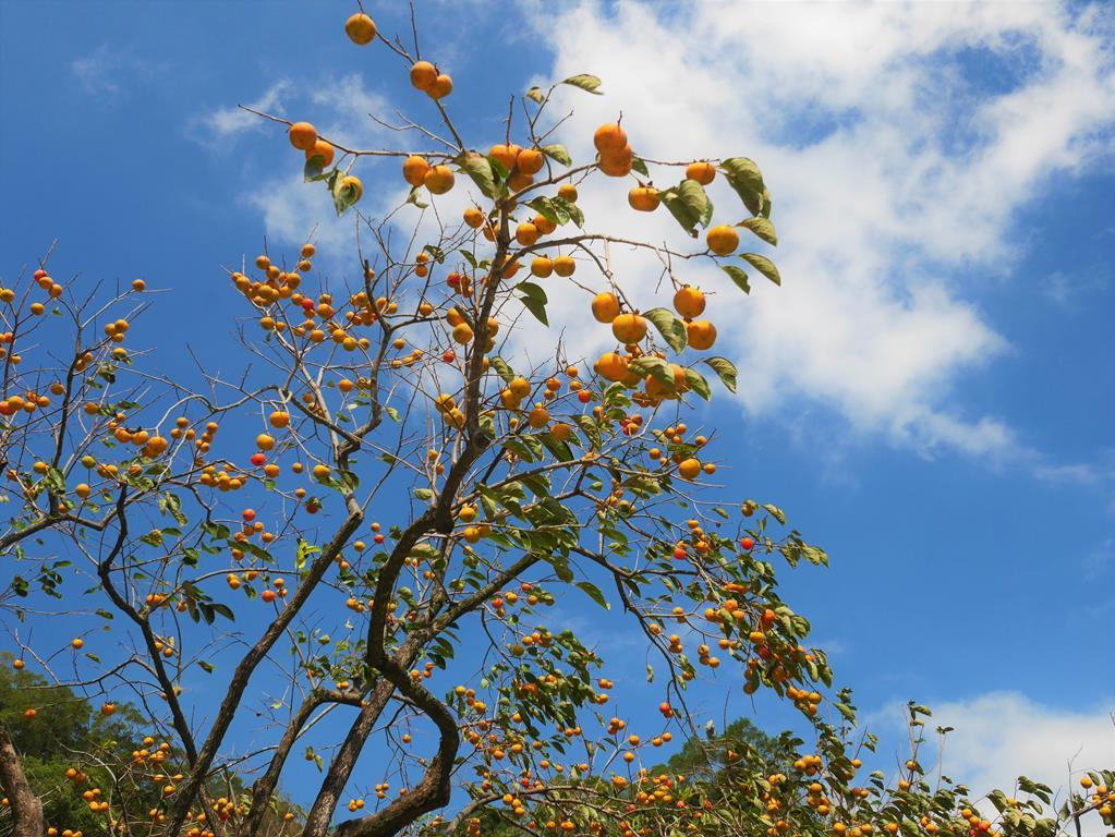 味衛佳果園柿子樹
