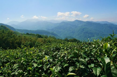 霧之道茶葉園