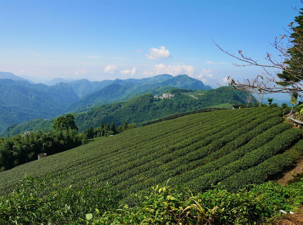 霧之道茶園景色