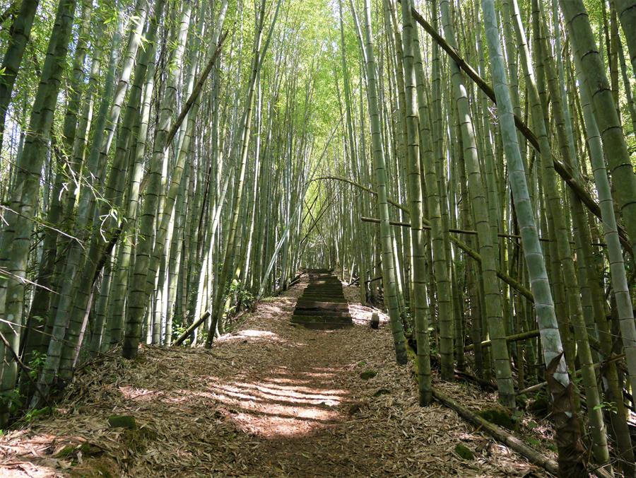 穿越竹林間的茶之道