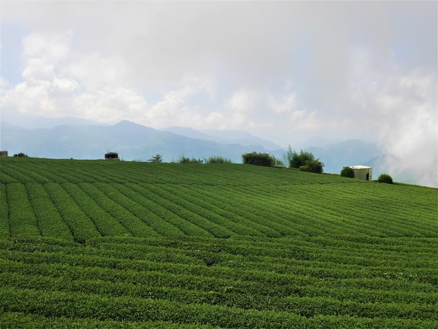 霞之道四周茶園景觀