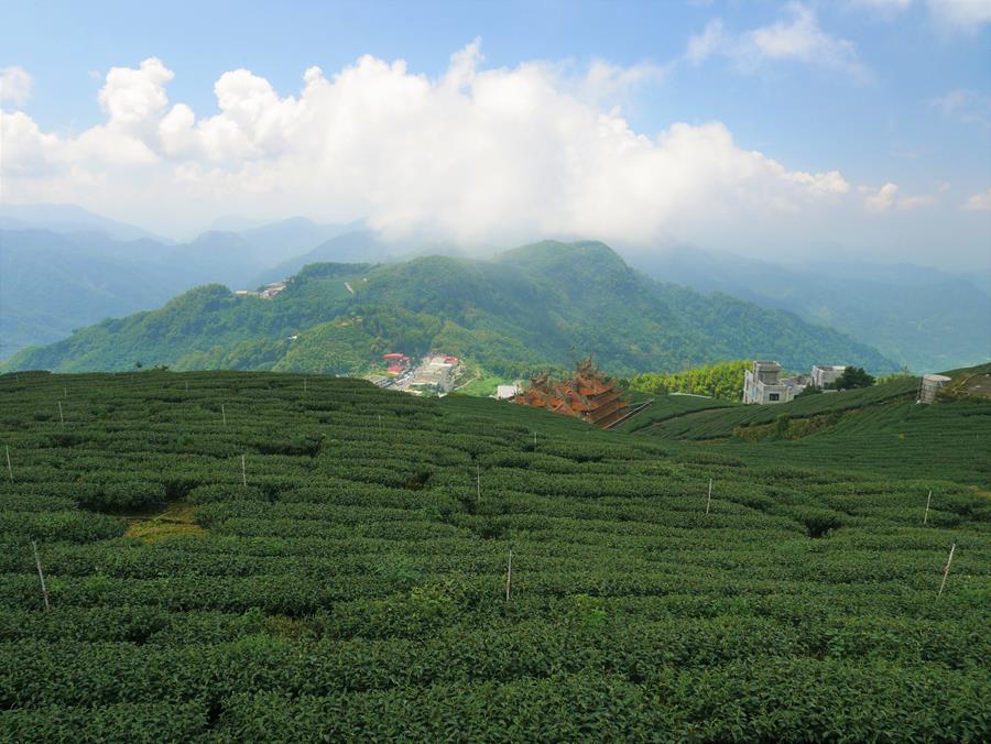 霞之道茶園景色