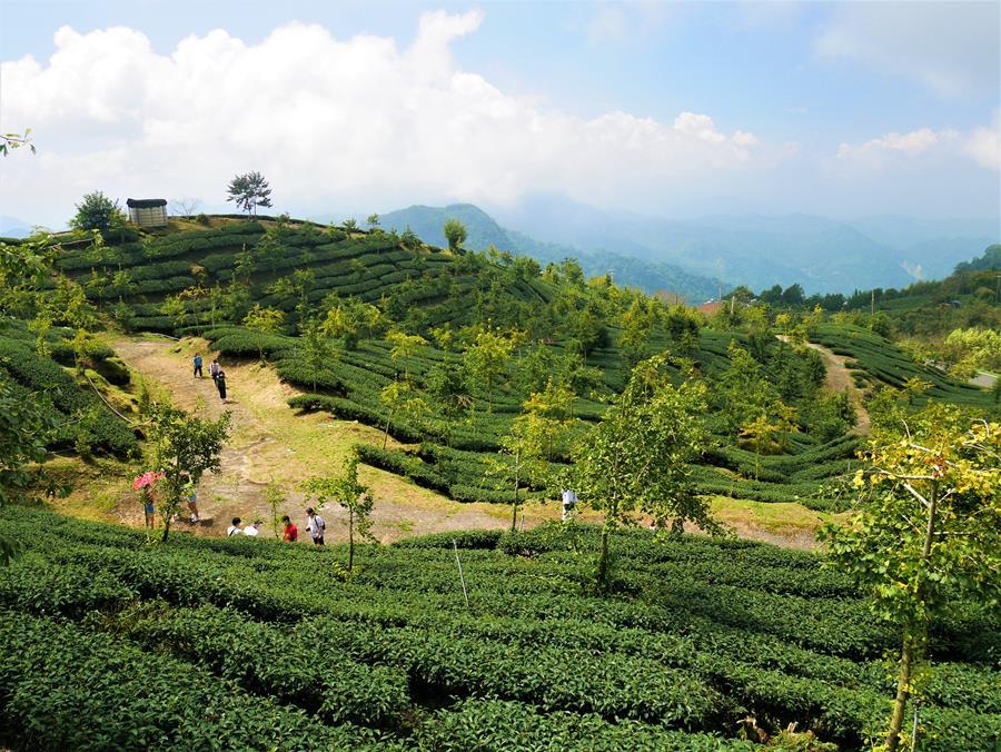茶葉與銀杏混種的霞之道